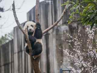 向你打招呼的大熊猫桌面壁纸