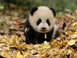 可爱呆萌的熊猫滚