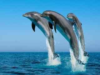 三只海豚飞跃海绵桌面壁纸