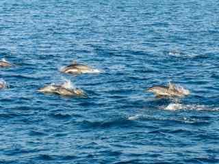 海面上成群结队的海豚桌面壁纸