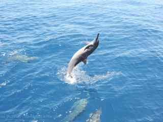 海豚在水面上翻越桌面壁纸