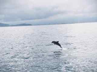 海面上翻越的海豚桌面壁纸