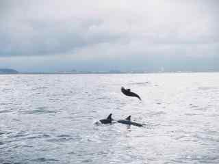 海面上欢快的海豚桌面壁纸