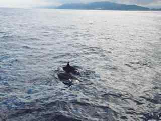 太平洋上两只海豚嬉戏桌面壁纸