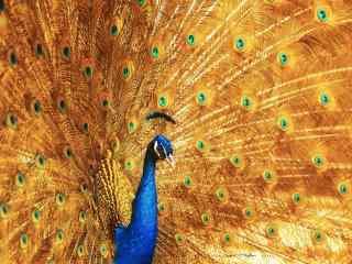 好看的孔雀开屏金色尾毛桌面壁纸