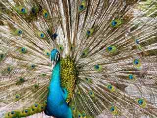 美丽的绿孔雀开屏桌面壁纸