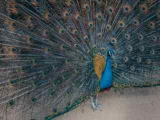 好看的蓝孔雀开屏桌面壁纸