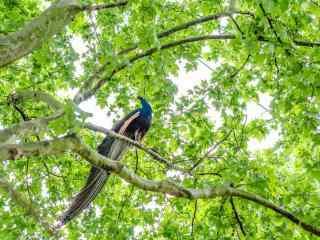 躲在绿色树林叶里的孔雀桌面壁纸