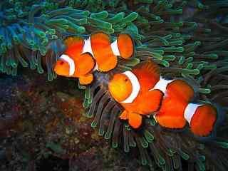 萌萌哒海底小丑鱼桌面壁纸