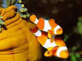 可爱的海底小丑鱼桌面壁纸