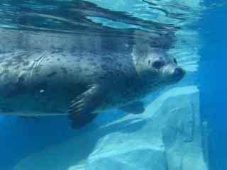 水底下畅游的海豹桌面壁纸