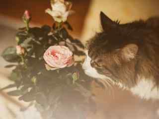 猫咪与玫瑰花的碰