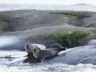 在海滩边休息的两只海豹桌面壁纸