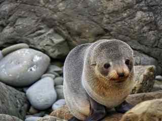可爱的小海豹在礁石上玩耍桌面壁纸