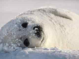在雪地里打滚的小海豹桌面壁纸