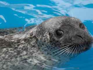 潜在水底的可爱海豹桌面壁纸