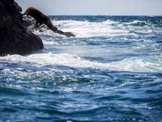 可爱的海豹跳下大海桌面壁纸