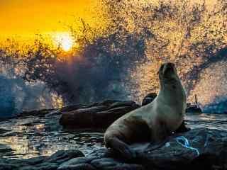 水花四溅下的海豹桌面壁纸