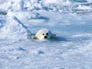 在雪地匍匐前进的小海豹桌桌面壁纸