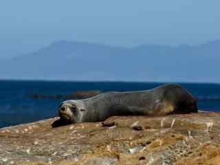 小海豹趴在石头上休息桌面壁纸