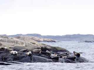 海边石头上一群可爱的海豹桌面壁纸