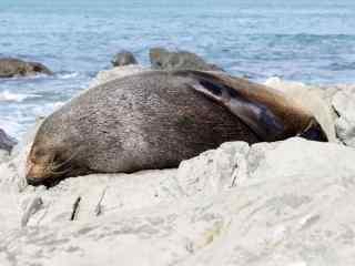海边礁石上睡觉的海豹桌面壁纸