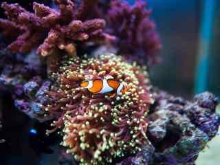 游来游去的可爱小丑鱼图片壁纸