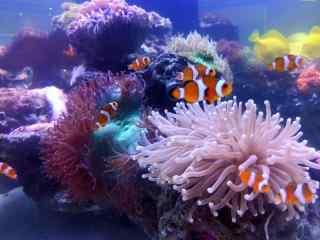 海葵丛中的可爱小丑鱼图片