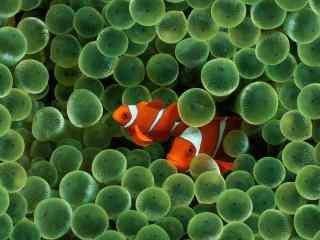 绿色水生生物中的小丑鱼壁纸
