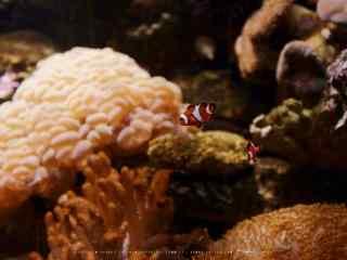 粉色海葵丛中的小丑鱼壁纸