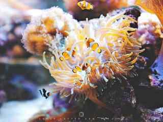 可爱的海葵丛中的小丑鱼图片
