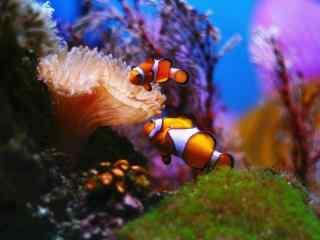 水中的可爱小丑鱼桌面壁纸