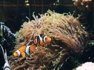 海葵丛中的小丑鱼图片壁纸