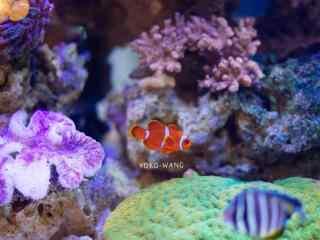 可爱的小丑鱼动物壁纸