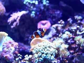 唯美的水中小丑鱼桌面壁纸