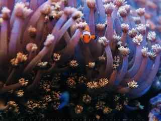 海葵丛中的小丑鱼可爱桌面壁纸