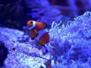 蔚蓝海水中的小丑鱼图片壁纸