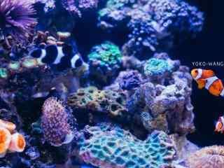 海中的小丑鱼桌面壁纸