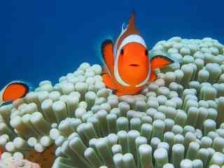 海葵丛中的小丑鱼桌面壁纸