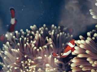 海葵丛中的唯美的小丑鱼图片
