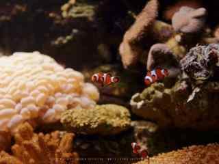 茂密的海葵丛中的小丑鱼图片