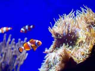 大海中可爱的小丑鱼桌面壁纸