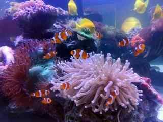 水族馆中的小丑鱼群桌面壁纸
