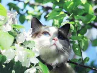 可爱布偶猫躲在树