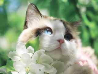 可爱软萌的布偶猫