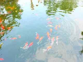 水中的锦鲤高清桌