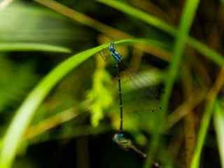 可爱的蓝蜻蜓护眼桌面壁纸