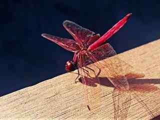 红蜻蜓唯美高清壁纸
