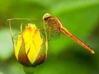 立在花苞上的蜻蜓桌面壁纸