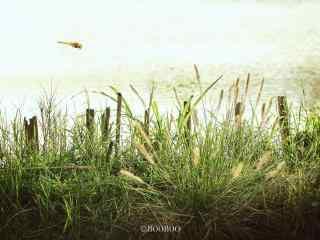 飞在草丛上的蜻蜓桌面壁纸